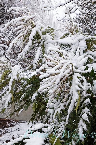 Mahonia x media 'Lionel Fortescue' in snow_4242.jpg