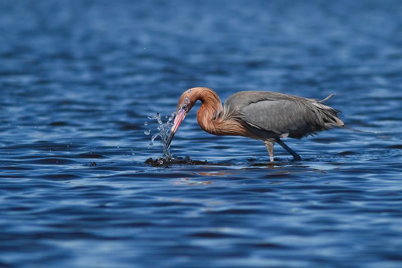 Reddish Egret, Merritt Island Nwr
