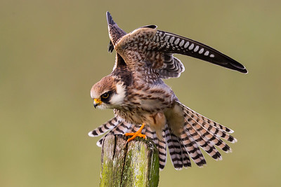 AFTENFALK - Red-footed falcon (Falco vespertinus)