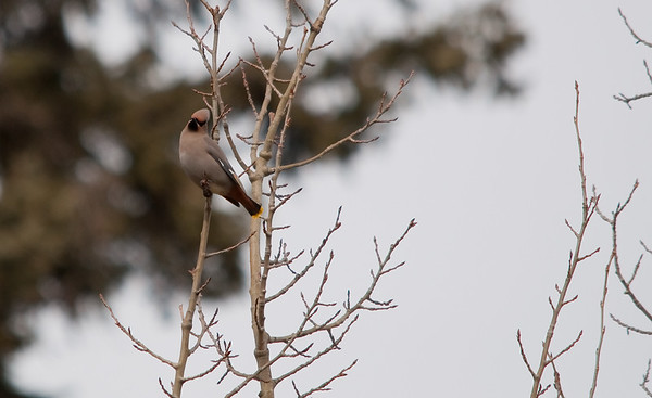Swallows, Thrushes & Waxwings