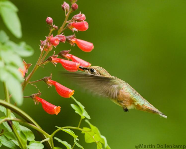 Rufous Hummingbird, juvenile male, at the Chilean Glory Vines Selasphorus rufus