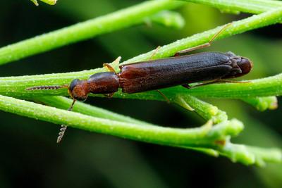 Lymexylidae - Ship-timber Beetles