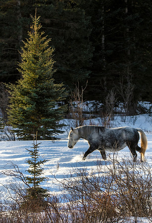Wild Dappled Grey Mare