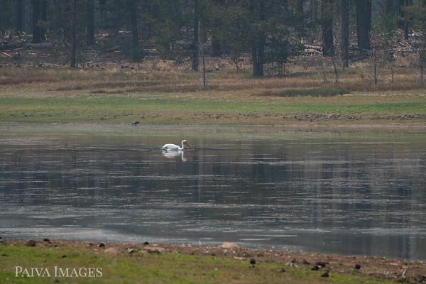 20200830 Lake Davis Pelicans