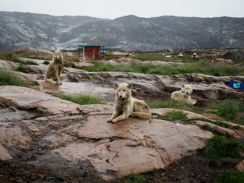 Sled dogs in Ilulissat