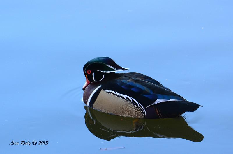 Wood Duck - 12/23/2013 - Santee Lakes