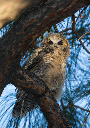 Great Horned Owls UNM 2014