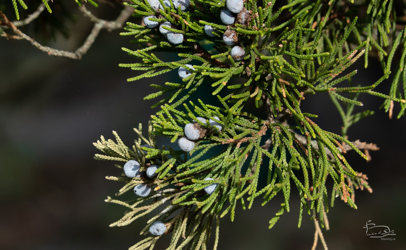Last of the juniper berries