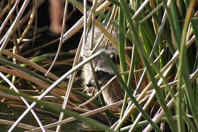 MAMMALS: PROCYONIDAE (Raccoon Family)