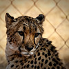 One unhappy cheetah