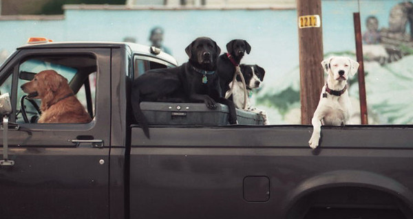 Dogs casually wait for their owner to come back from a restaurant in downtown Kalamazoo, MI.  (Photo  ©Mark Bialek)