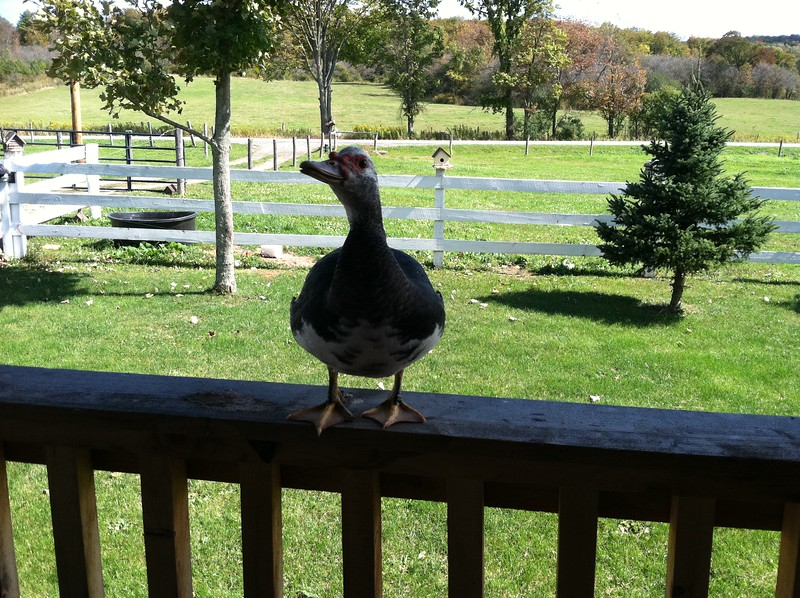 Quacky our Social Duck who took flight & would come in for a Landing on the porch Railing