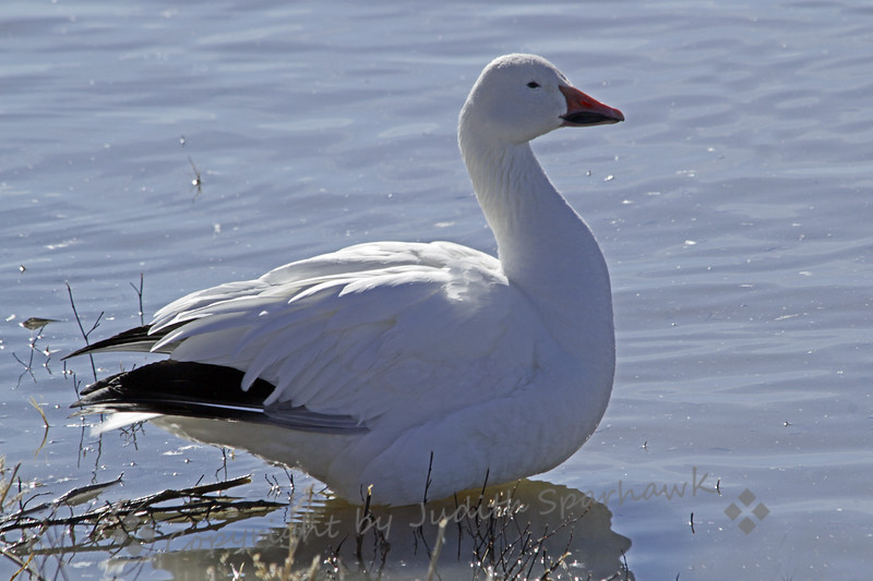 Snow Goose ~ Winter birding trips to Bosque del Apache in New Mexico bring exciting views of masses of Snow Geese, with their loud calls and beating wings.  This single goose was one of hundreds in this lake area.