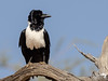 Perched Pied Crow