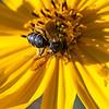 Sunbathing busy honeybee