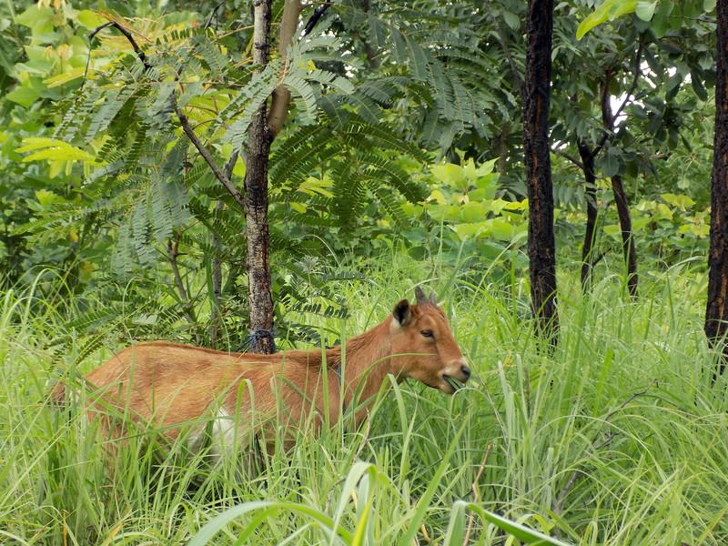 Togolese Cow.jpg
