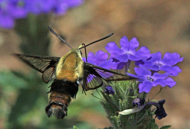 Hummingbird moth with purple flowers