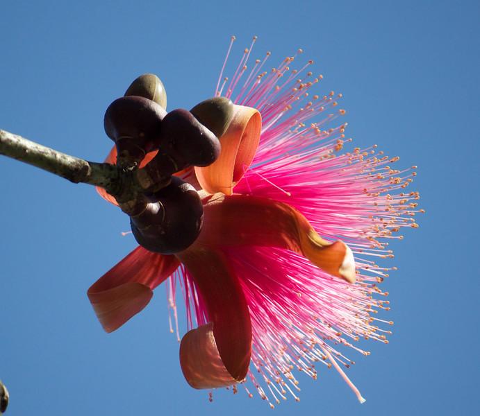 bloom on a shaving brush tree
