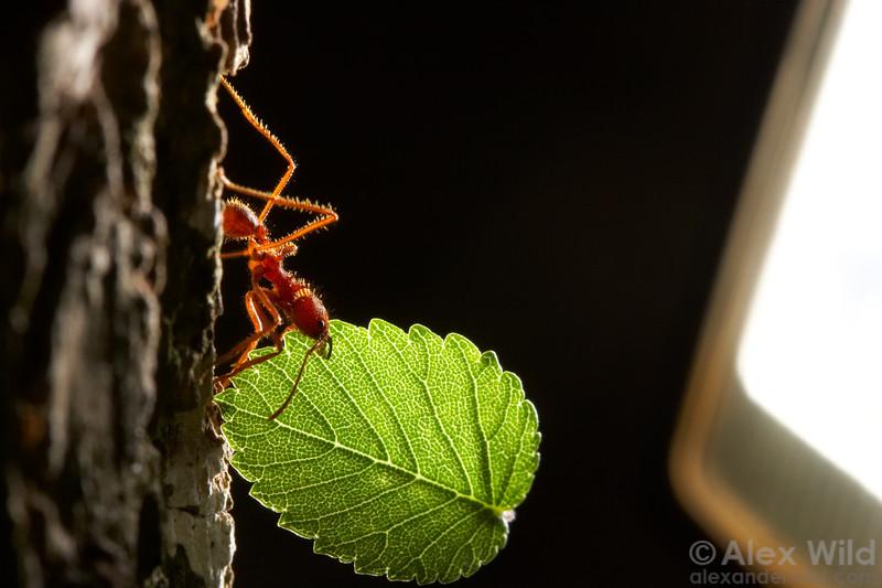 Backlit by the photographer's flash, an Atta texana worker negotiates the precarious climb down a tree trunk.  Austin, Texas, USA