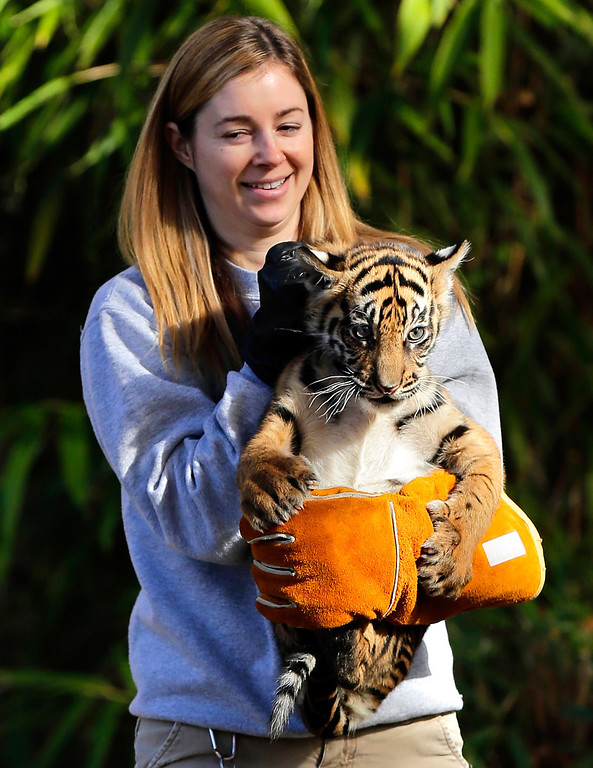 """. A female Sumatran Tiger cub named Sukacita is held by biologist Leigh Pitsko after the cub performed her \""""swim test\"""" in a moat of the Great Cats exhibit at the National Zoo November 6, 2013 in Washington, DC.   (Photo by Win McNamee/Getty Images)"""