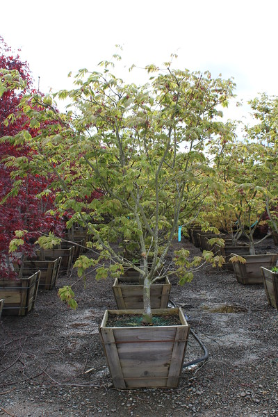 Acer jap. 'Aconitifolium' Specimen 2.5 in #30 box.JPG