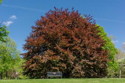Genus Fagus - Beech Trees