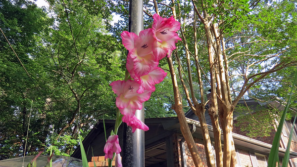 "June 15 - 16:  This ""Mystery Bulb"" appears to be a Gladiolus .  .  ."