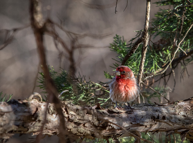 01-19_HouseFinch_2019e.jpg