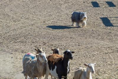 AM Coarse A Sheep - ADV