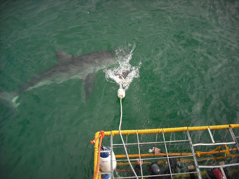 After chumming the water for about 15 minutes the first shark arrived.  Then the first group of divers got in the water.  The captain would throw the fish head out in front of the cage and then reel it back to the boat so the shark would come close.