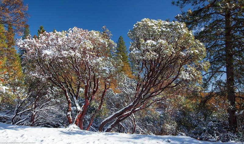 Manzanita in the Snow