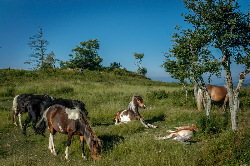 Wild Ponies in High Mountain Meadow  #2.