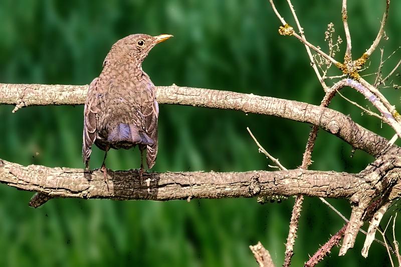 Female Blackbird giving us the cold sholder