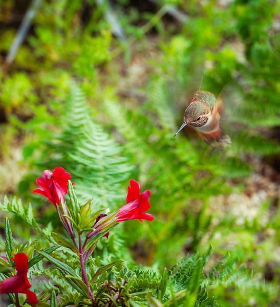 Hummingbird, U. C. Santa Cruz Arboretum, California, 2010