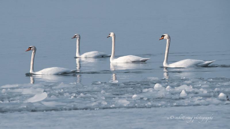 winterswans19-5693.jpg