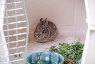 Tiny bunny, July 2008