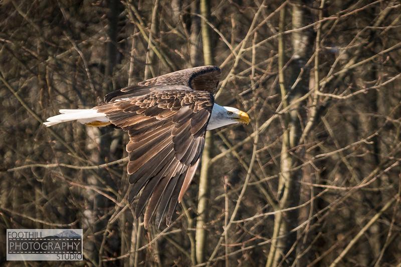 Eagle Sml-4.jpg