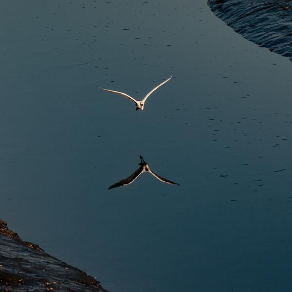 Little Egret. Graham.jpg