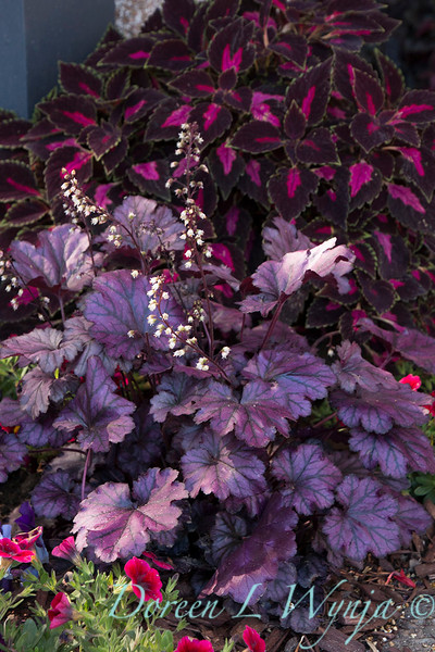 'Blackberry Ice'; attracts birds; attracts butterflies; Coleus; ColorBlaze; ColorBlaze®; Coral Bells; Dolce Blackberry Ice; Dolce®; Heuchera; Heuchera hybrid; Solenostemon; Solenostemon scutellarioides; Velveteen