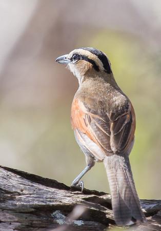 Black-crowned Tchagra