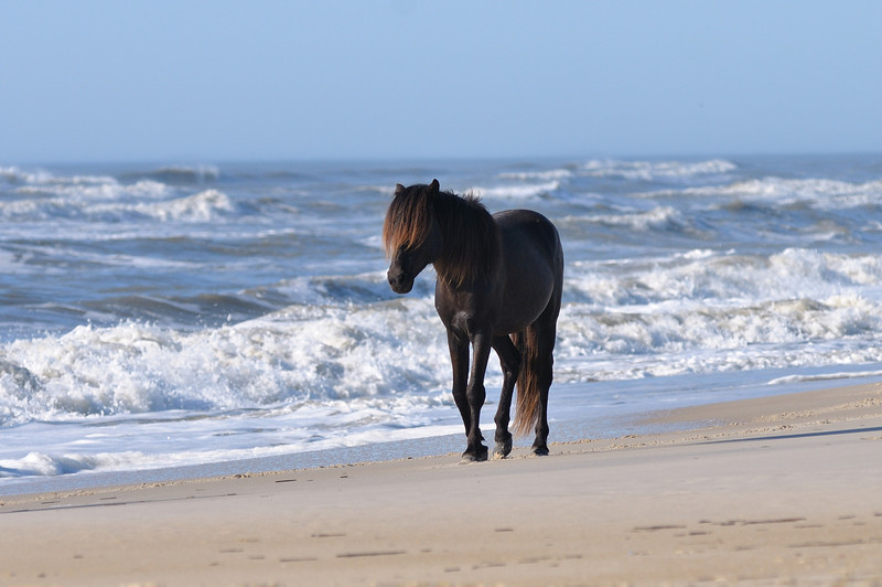 """Charcoal"" The only black horse on Marylands side of Assateague."
