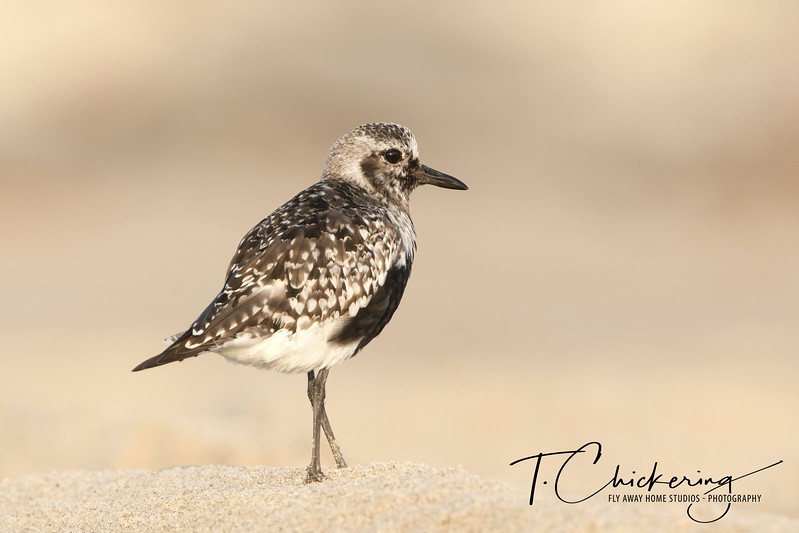 Black-Bellied Plover in Late Summer Plumage Two-1505771389794.jpg