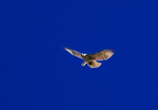 hawk-1607.jpg