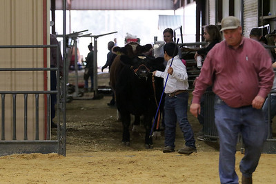 Cattle 5