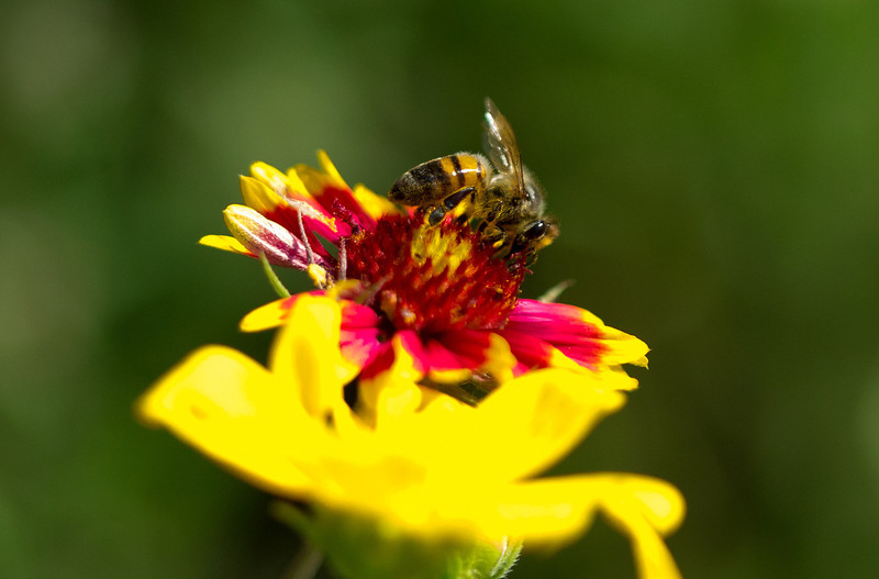 Bee pollinating Firewheel (Indian Blanket) Flower