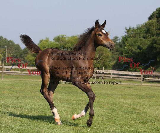 Liberty Arabians 2009