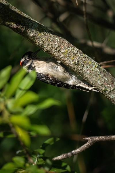 downy woodpecker on the underside of a branch
