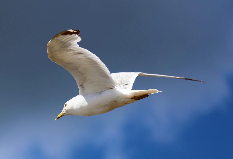whitegullflyingaway.jpg