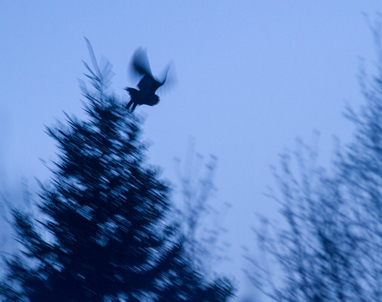 Great Horned Owl Duluth CBC Christmas Bird Count Duluth MN IMG_3805.jpg