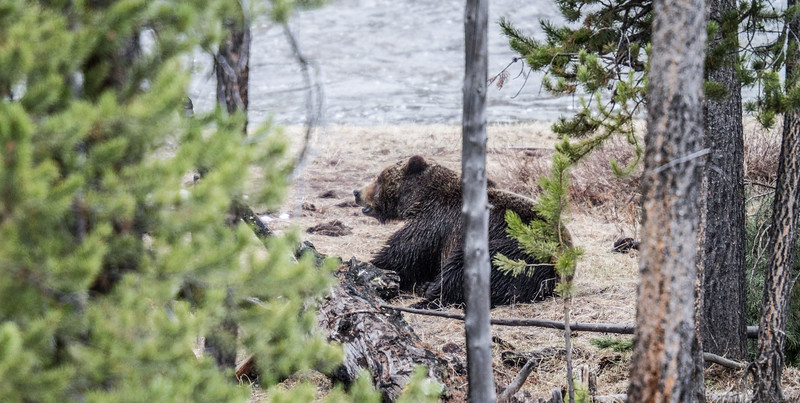Grizzly bear boar male Yellowstone National Park WY IMG_0415.jpg